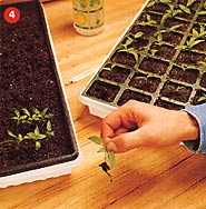 4. Transplant Seedlings