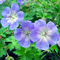 Picture Hawaii State Flower on An Easy To Grow Perennial  Geranium Is Often Used In Borders  Rock