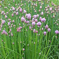 Picture Hawaii State Flower on The Leaves Of Chives Are Used In All Kinds Of Sauces And Salads To