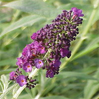 Butterfly Bush Maintenance on It Is A Delight To Watch All Types Of Butterflies Sip Nectar From The