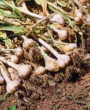When and How to Harvest Garlic