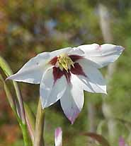 Acidanthera (<i>Acidanthera bicolor</i>)