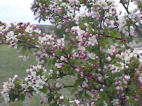 Crabapples for the Low Maintenance Landscape