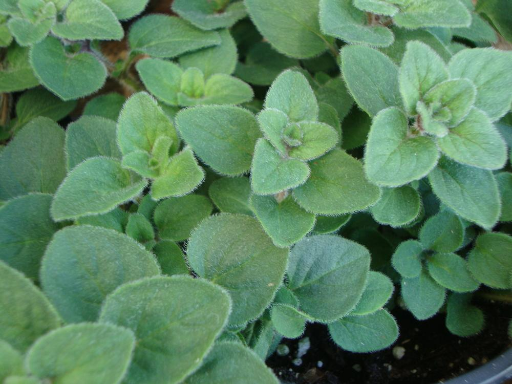 Oreganos: Plant Care and Collection of Varieties - Garden.org