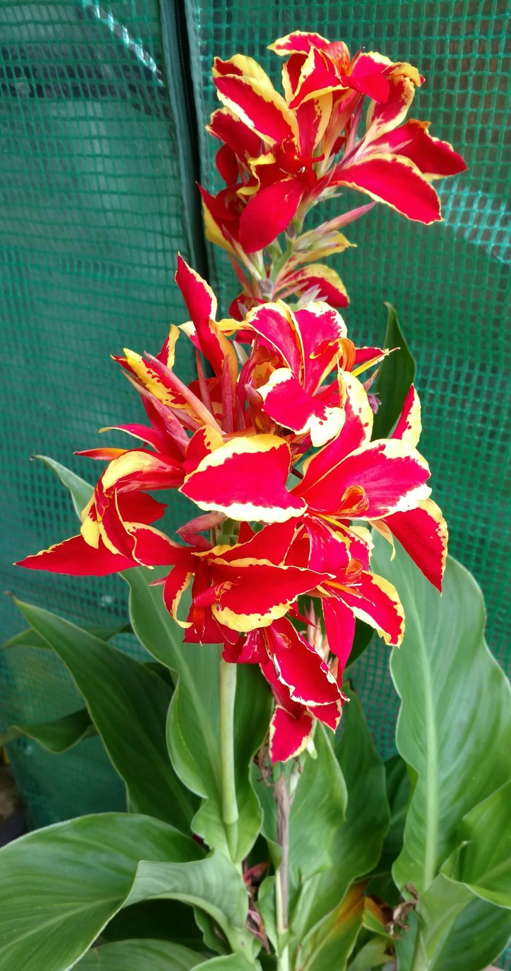 cannas plant care and collection of varieties gardenorg