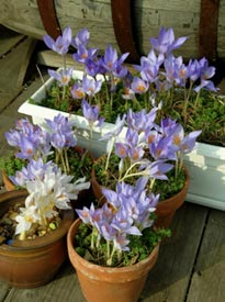 Fall-blooming crocuses don't need any cold treatment; just pot them and wait for the blooms.