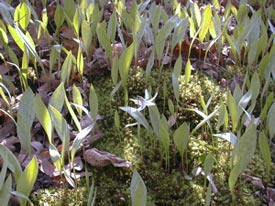 Moss will tolerate a few companions like these trout lilies, but it can be smothered by plants and leaf litter.