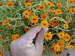 Narrow-leaf zinnia is an easy-care, heat-tolerant variety that grows well in containers.