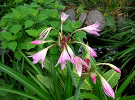Crinum powelli is one of my favorite summer bloomers.