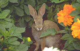 Young, tender growth is most vulnerable to rabbit munching.