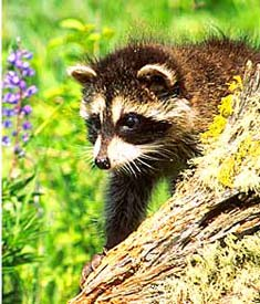 Baffles on the trunks of fruit trees can prevent raccoons from reaching the goods.
