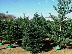 Christmas tree lots offer many types of trees in many shapes and sizes. (Photo by Cathy Cromell)