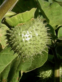 Remove datura seedpods if you don't want them to self-sow everywhere.