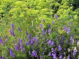 A pack of larkspur seeds gives big rewards.