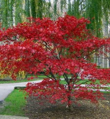 Japanese-maple.jpg
