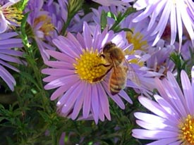 honeybee_on_smooth_aster.jpg